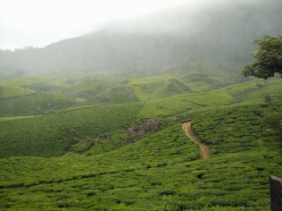 Lush tea estates enroute Suryanelly